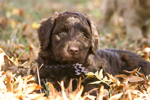 Alfie the Labradoodle was a reactive puppy and required rehabilitation.