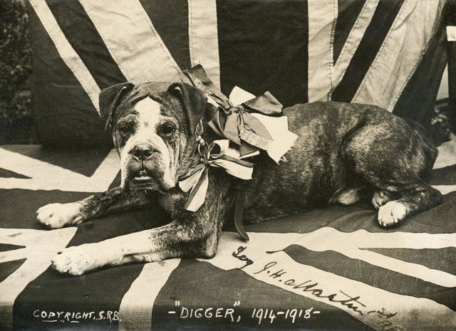 Digger the Bulldog ~ Served with the Australian Forces in World War One