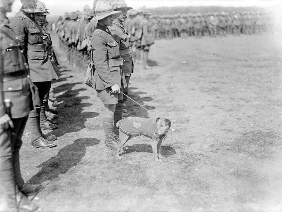 Paddy the Irish Terrier served with the New Zealand Army in World War One