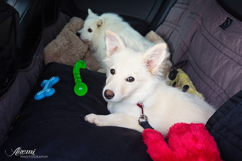 Border-Collie-Summer-in-the car