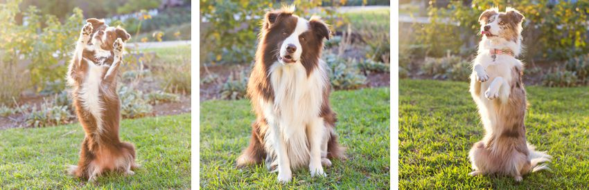 Advanced tricks like wait or stay and sit pretty begin with the basics of puppy and dog training