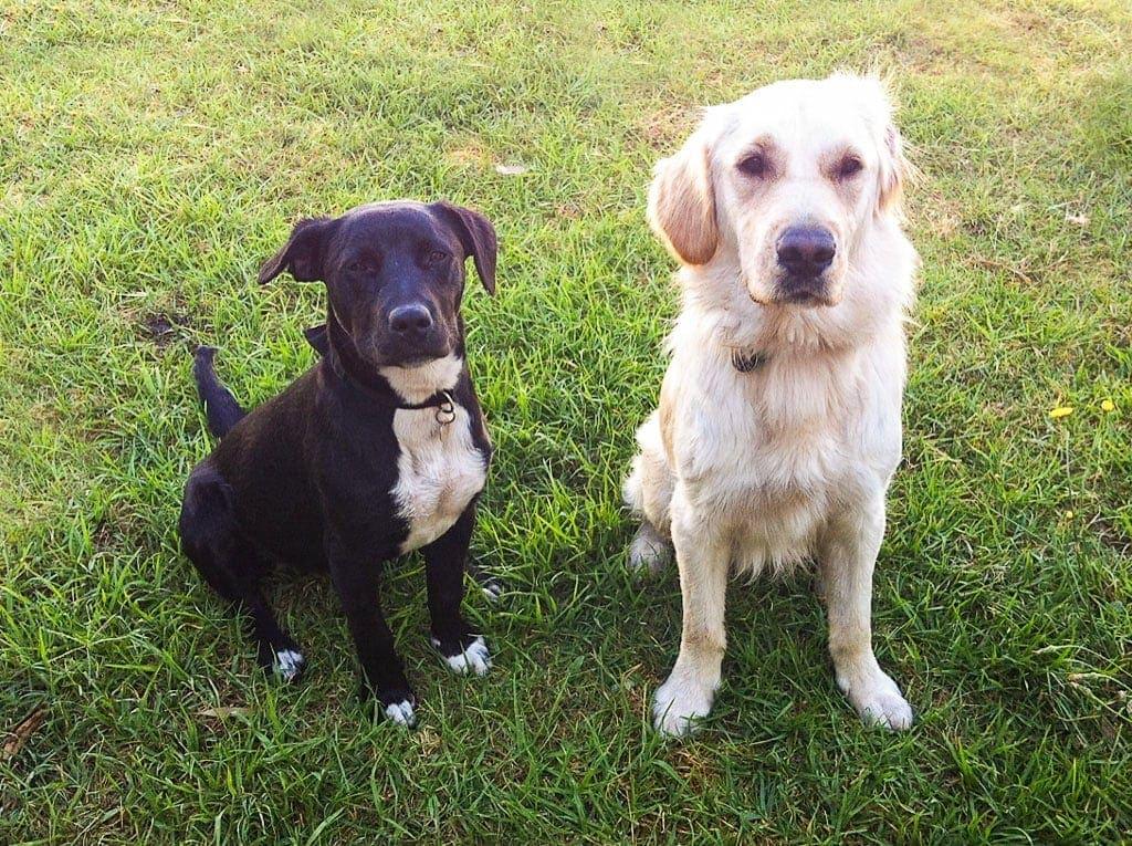 Best Mates Border Collie Tux & Golden Retriever Andy