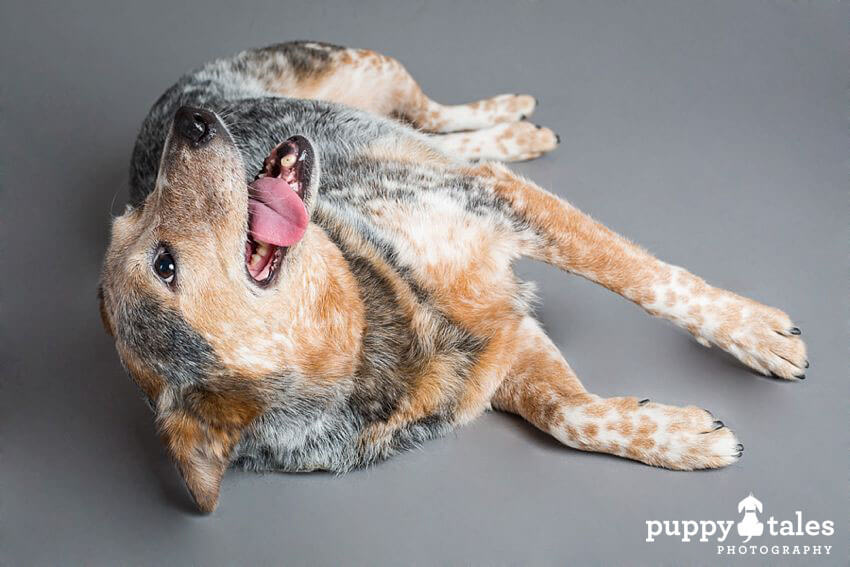 Deaf Australian Cattle Dog Liberty Belle showing her playfulness