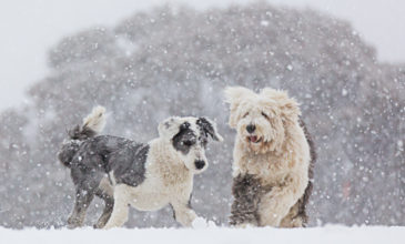 Puppy Tales Photo Challenge ~ Snow Dogs