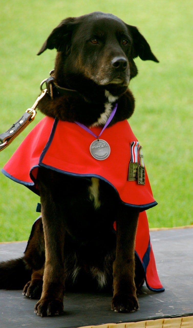 Service dogs of the Afghan War: Sarbi