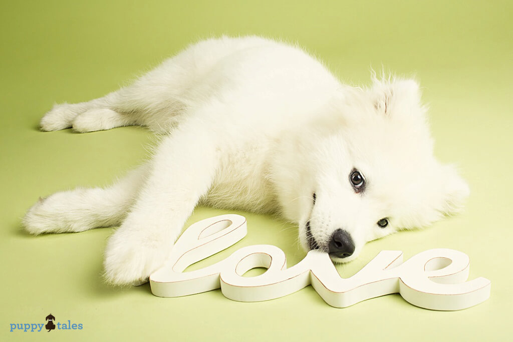 Samoyed Puppy Mistletoe being cheeky with love sign