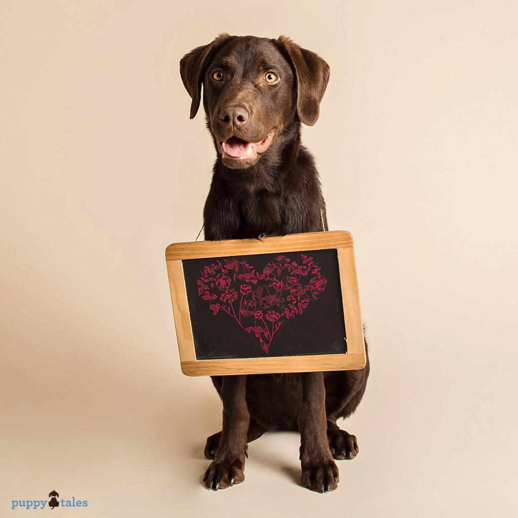 Chocolate Labrador Toby with a chalkboard