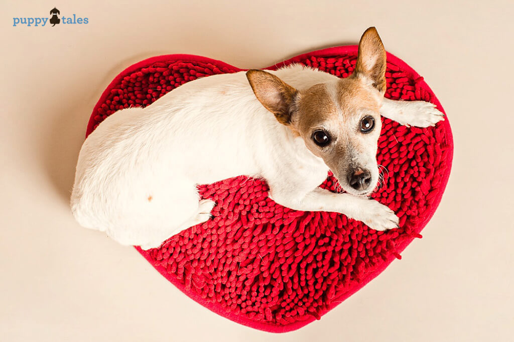 Jack Russell Terrier Mayra sharing the Love on Valentine's Day