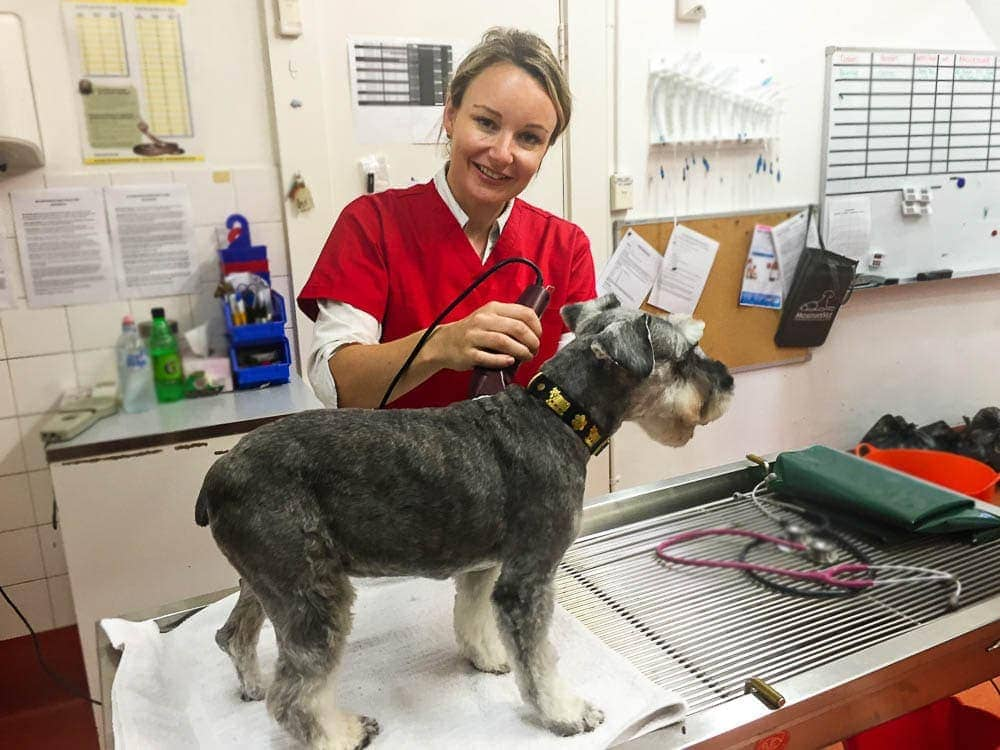 A dog with suspected paralysis tick will need to be shaved.