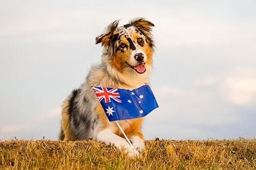 Puppy Tales Photo Challenge ~ Aussie, Aussie, Aussie
