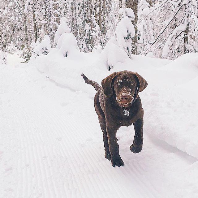 Oakley the Labrador