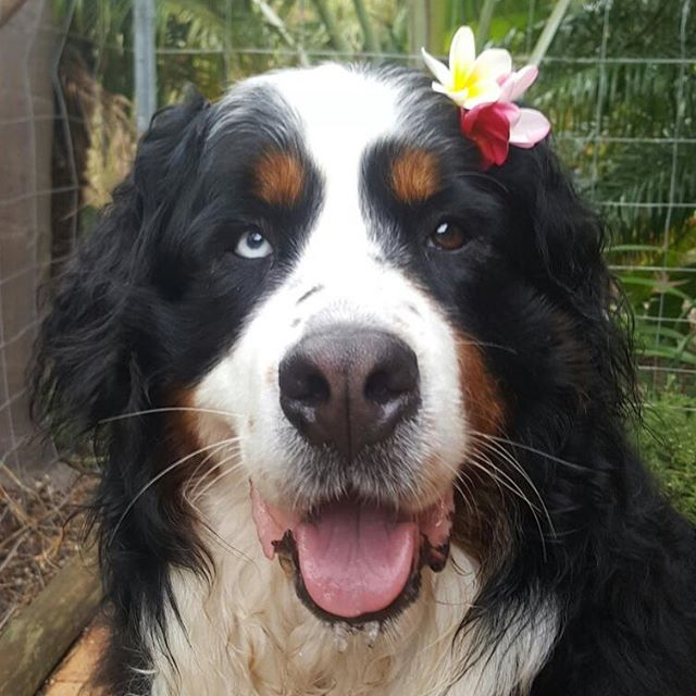Kora the Bernese mountain dog