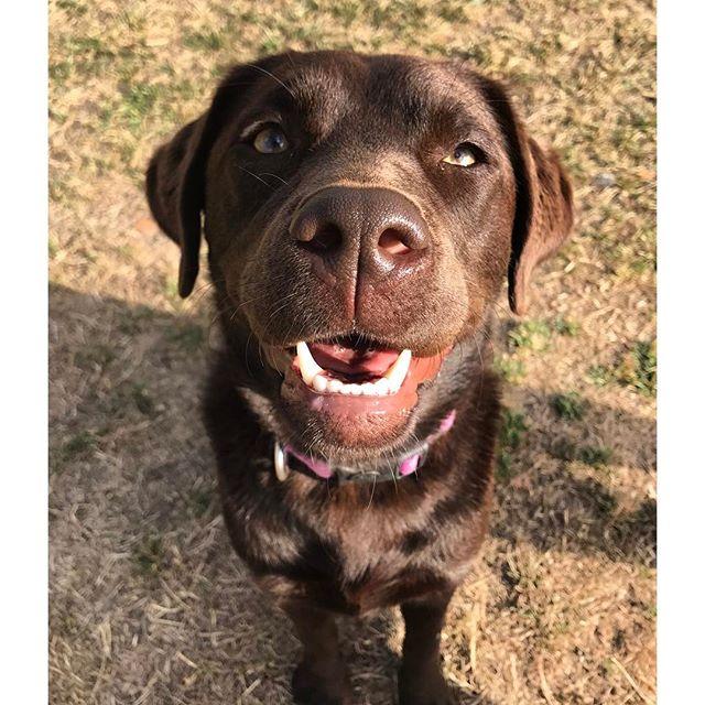 Mabel the Labrador