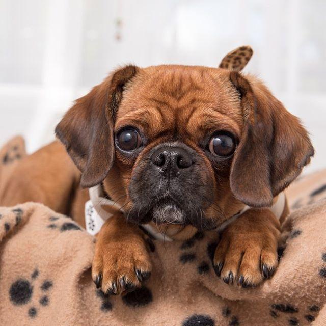 http://puppytales.com.au/wp-content/uploads/2017/03/rudy_the_pugalier.jpg