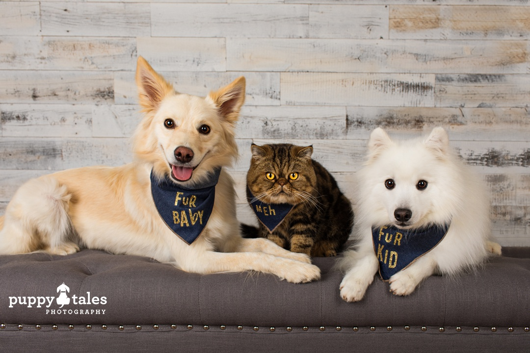 Dogs and cats can be friends! Summer the Border Collie, Mr Magoo the cat & Keiko the Japanese Spitz share the sofa together
