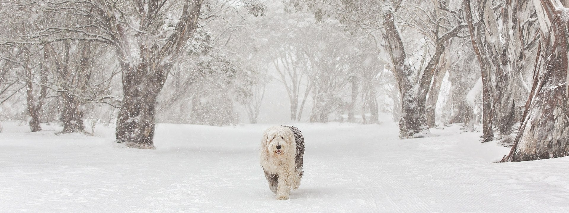 Old English Sheepdog photographed in the snow at Dinner Plain