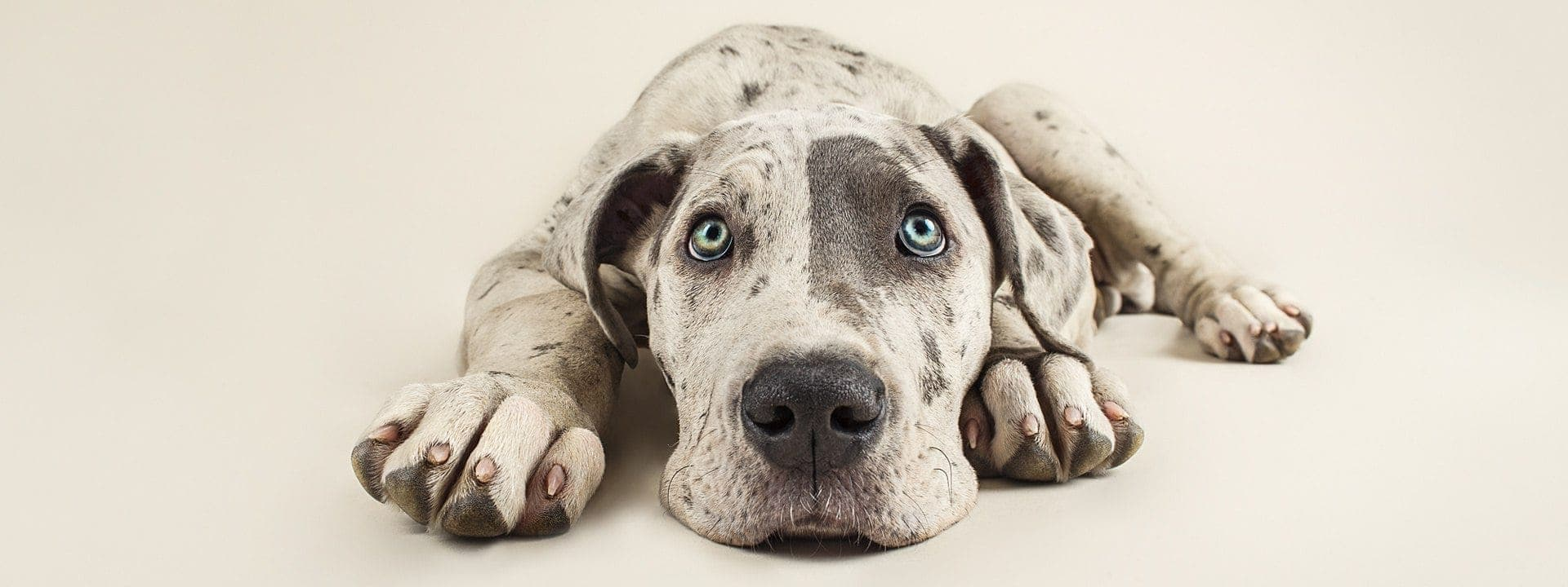 Great Dane Puppy Bella photographed in the Puppy Tales Photography Studio (on a cream backdrop)