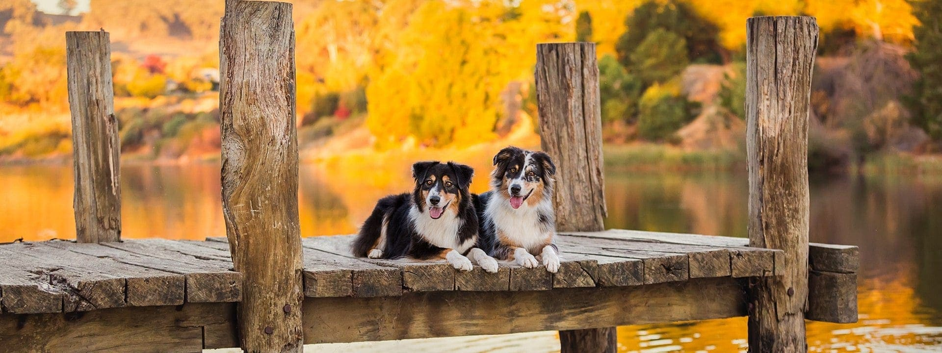 Australian Shepherds Allie & Dizzy photographed on a Puppy Tales Photography 'Fall Dogs' retreat at Beechworth