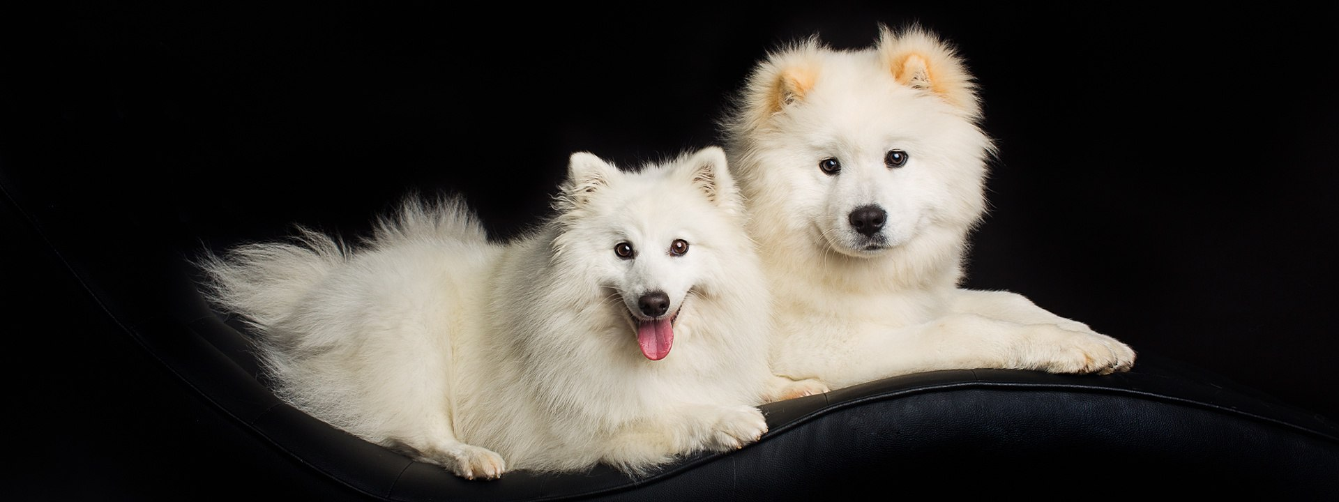 Japanese Spitz and Samoyed x Chow Chow photographed on black background in the Puppy Tales Photography studio