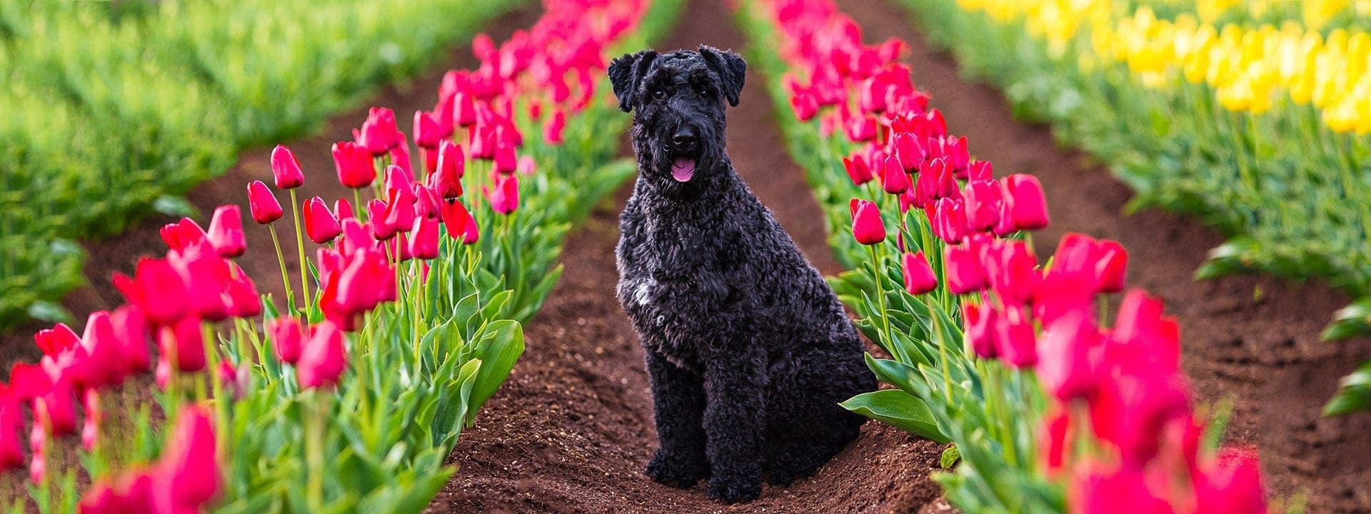Kerry Blue Terrier Hudson photographed amongst the colourful flowers on a Puppy Tales Photography Spring Session in the Dandenong Ranges