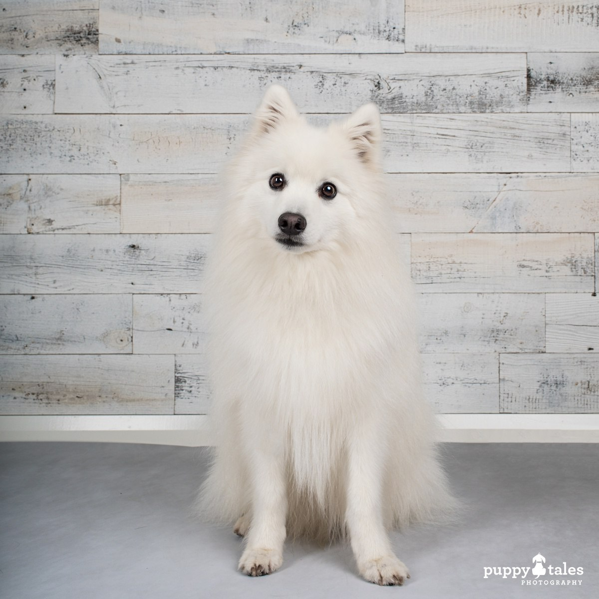Keiko the Japanese Spitz in the Dogalogue of Australia