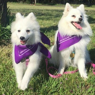 Hachi and Hana have joined the Tales of Fluff Team in Bark for Life Victoria 2017