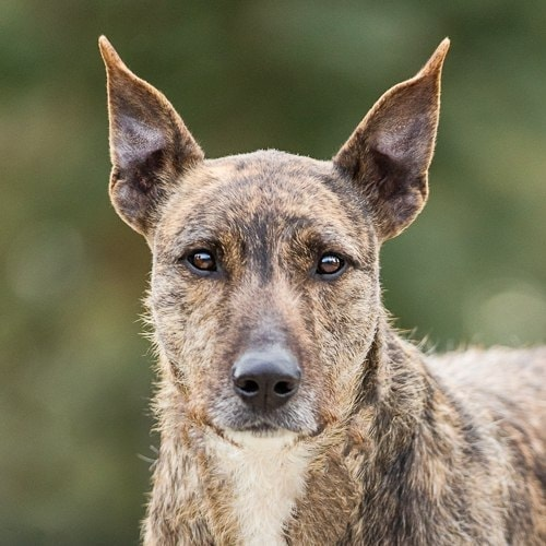 Wolfhound x Woody is available for adoption