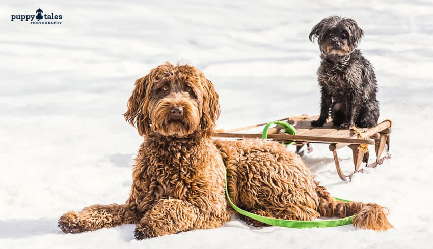 Frequently Asked Questions for Taking your dogs to the Snow at Dinner Plain