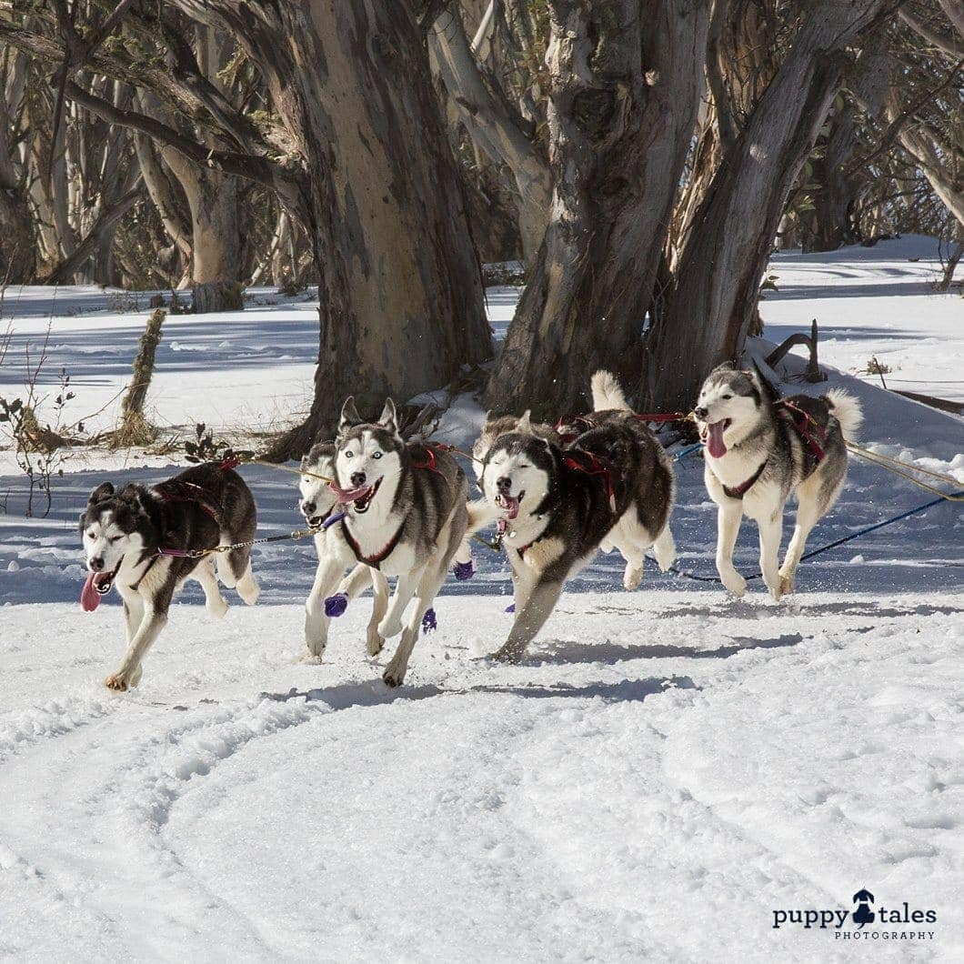 Pawsitive Travels With Dogs Adventure Hounds Sledding