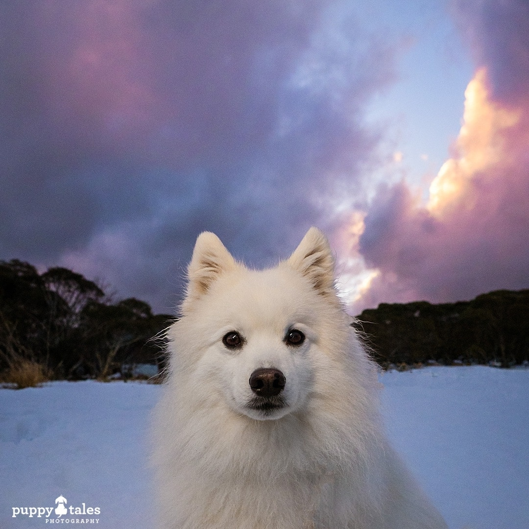 Dog photographed at the snow in the Victorian Alps
