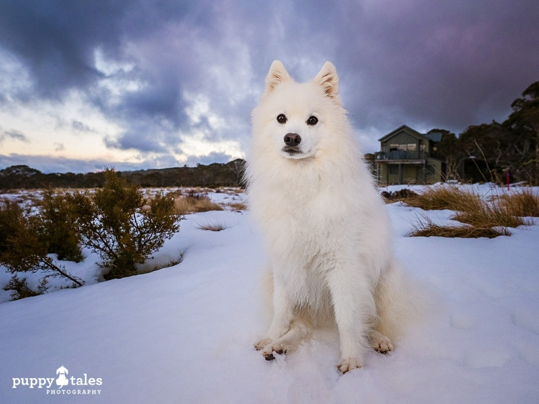 Japanese Spitz dog at the snow