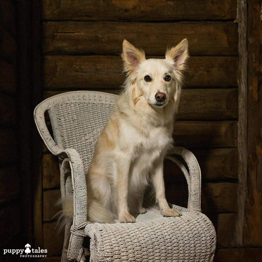 Border Collie x sitting in a chair, photographed using external lighting
