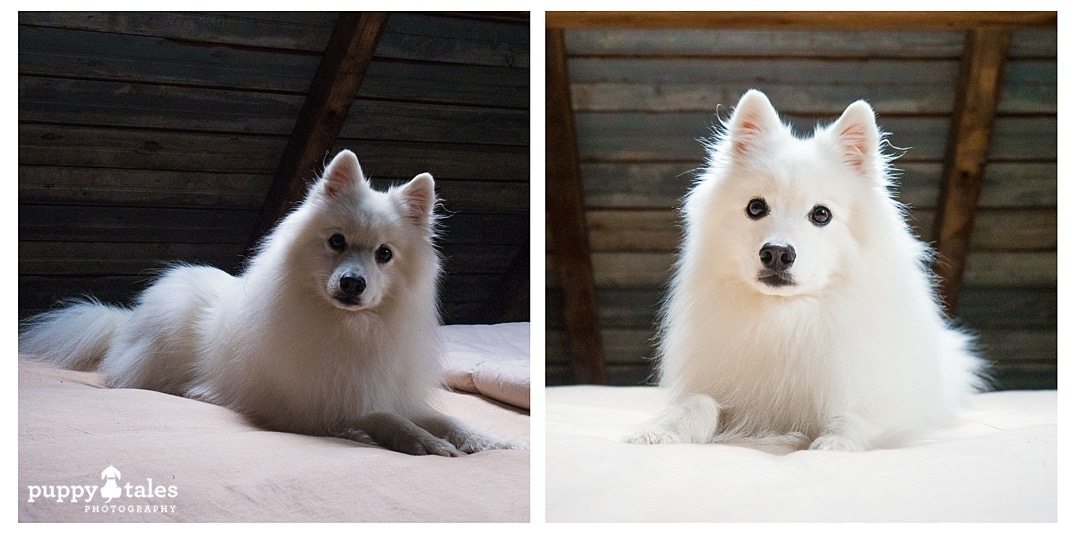 A Japanese Spitz dog photographed indoors with & without a flash