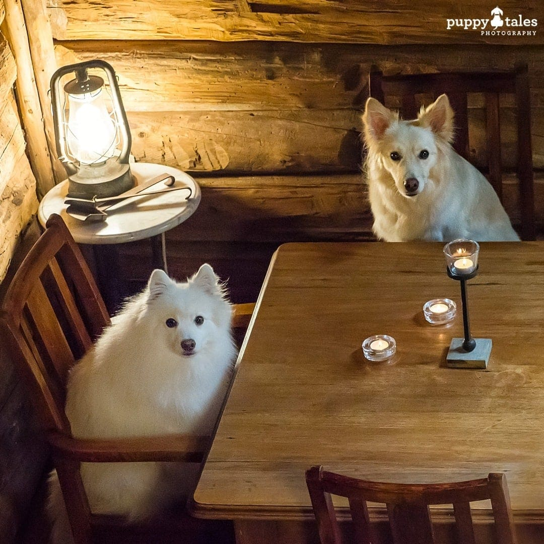 Two dogs photographed sitting up at the table in a dark room to show the effect of a lamp externally lighting them