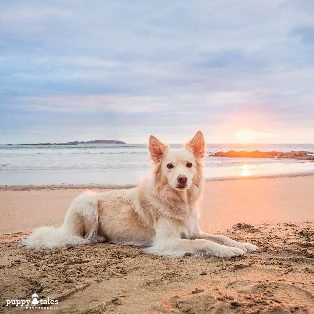 Border Collie stunning sunset photo on the beach