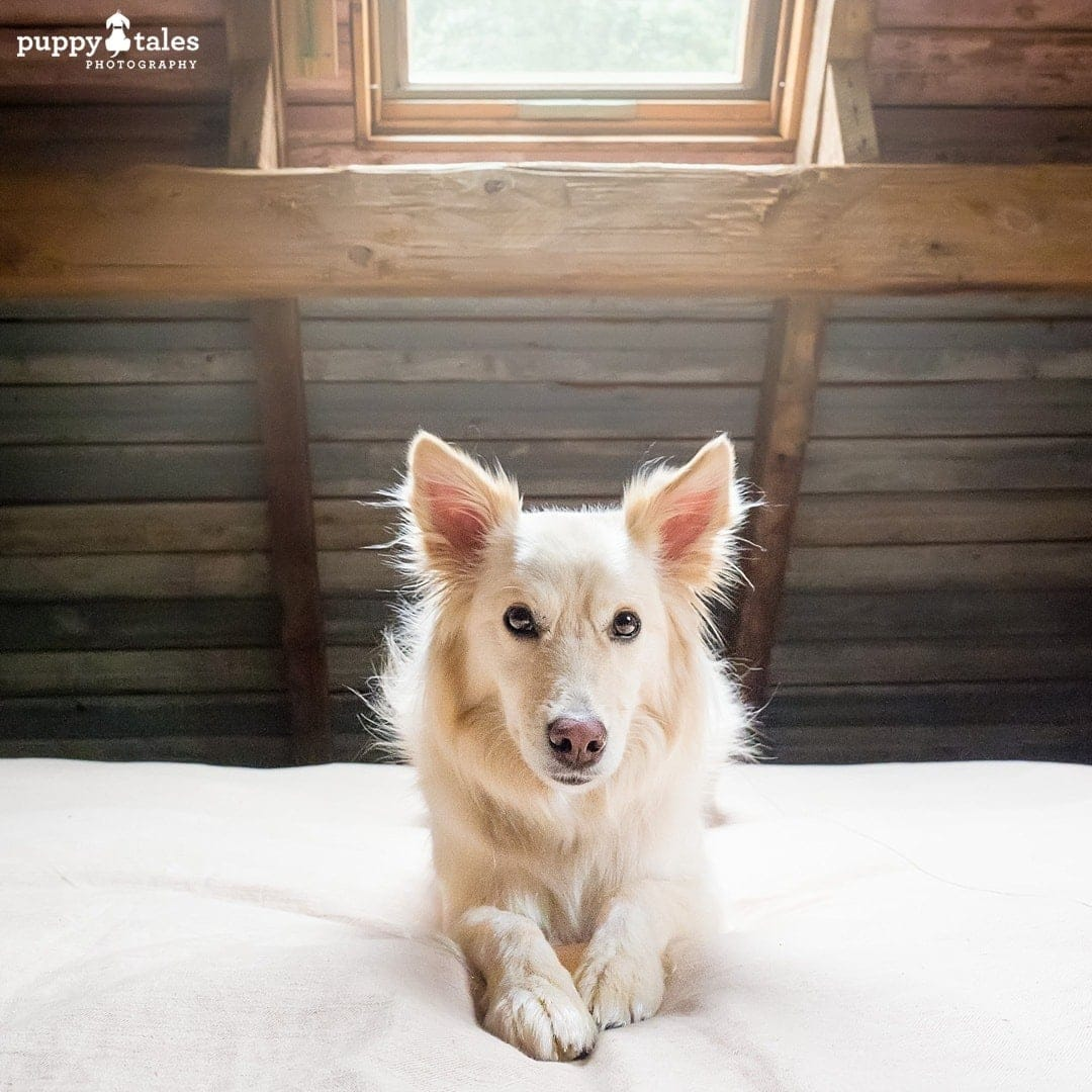 Border Collie dog posing on the bed