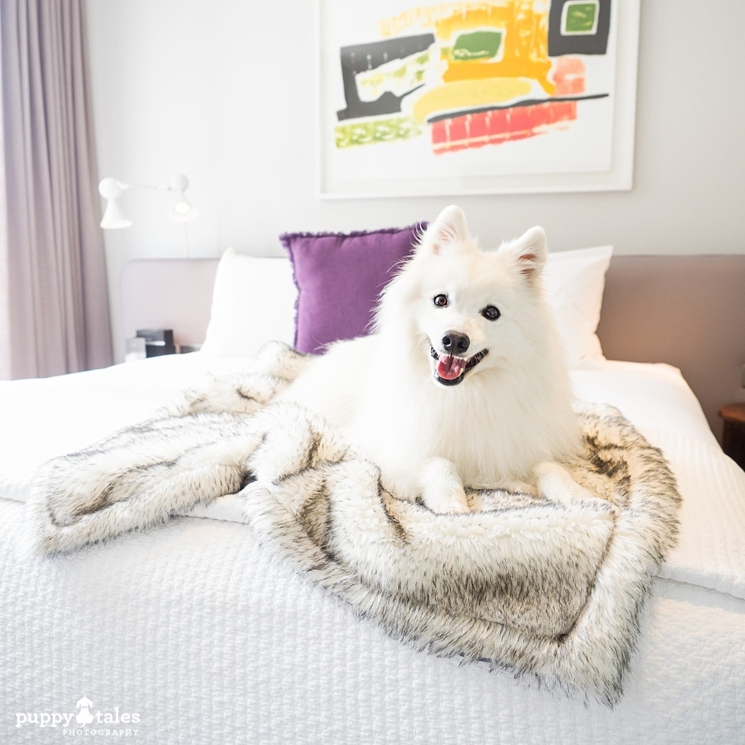 White Japanese Spitz dog posing on the bed