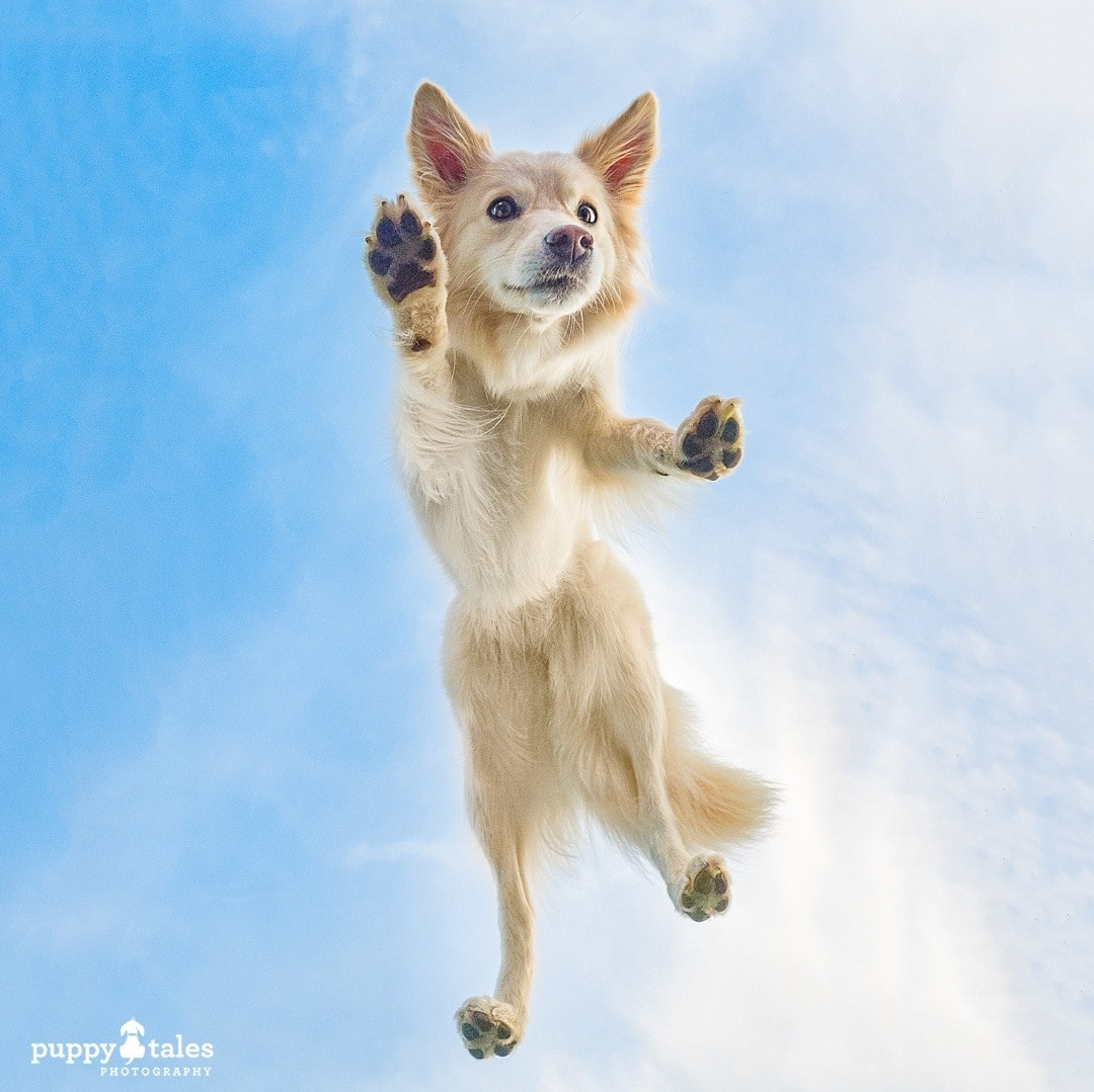 creative Border Collie photo walking on air