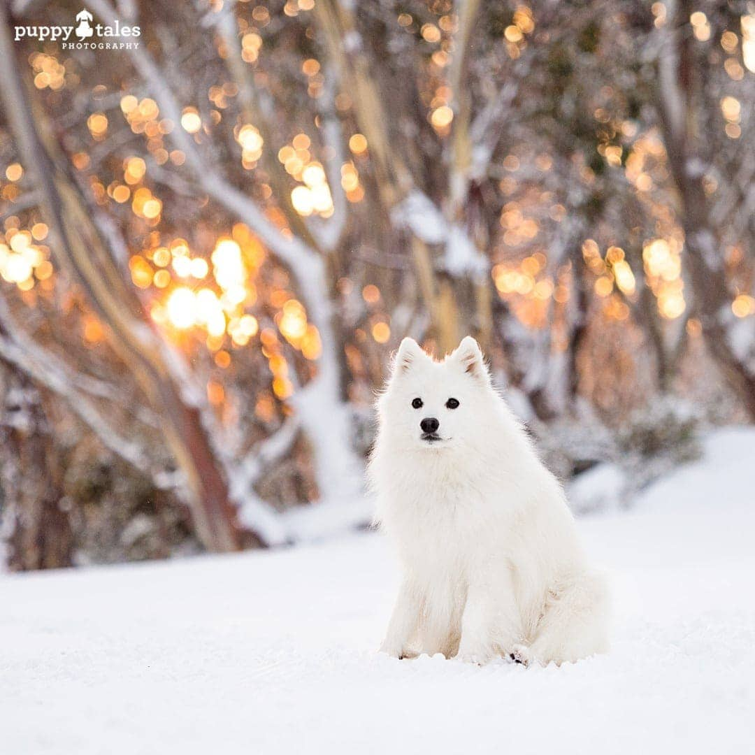 White Japanese Spitz dog sitting on snow-covered field with hazy background