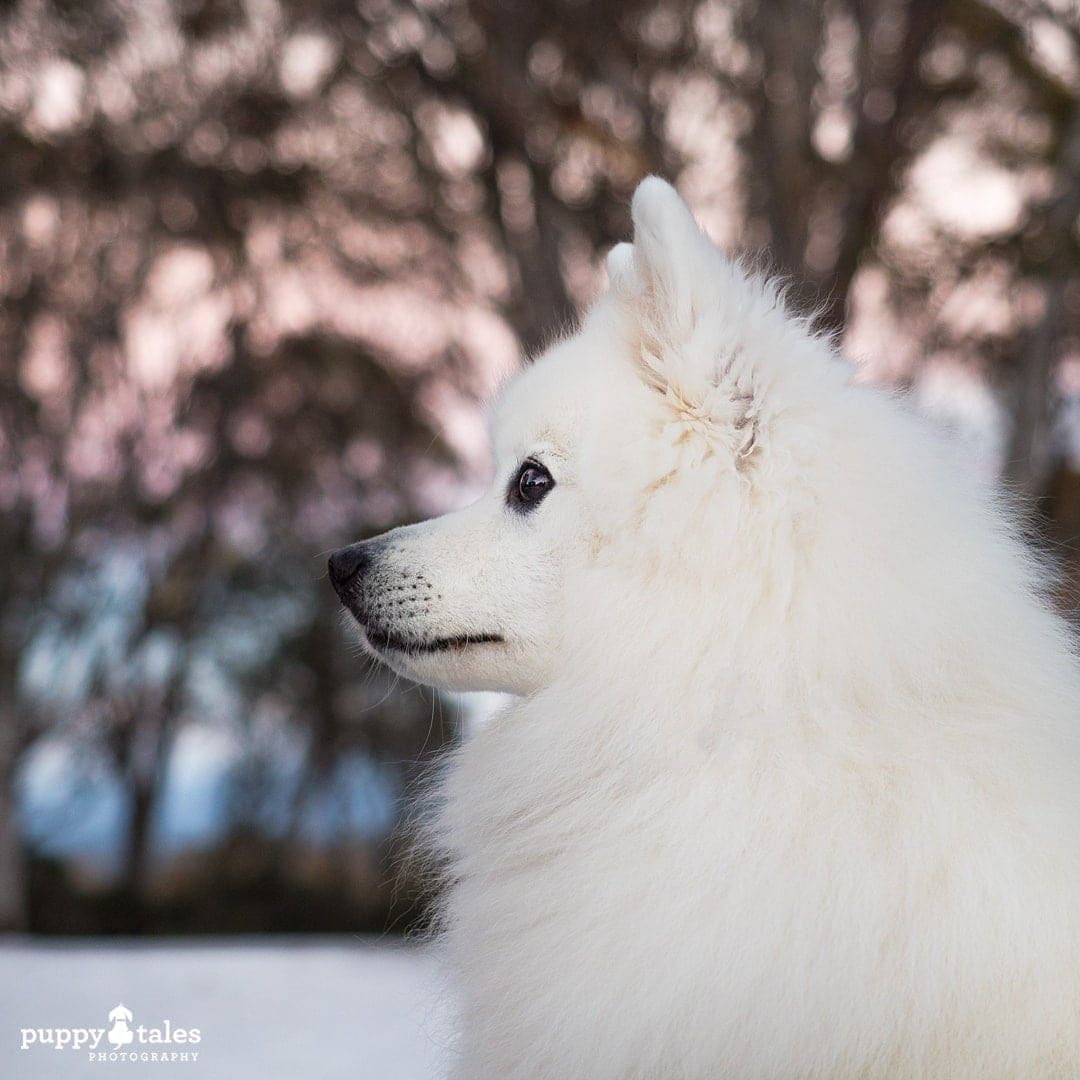 Japanese Spitz side view portrait