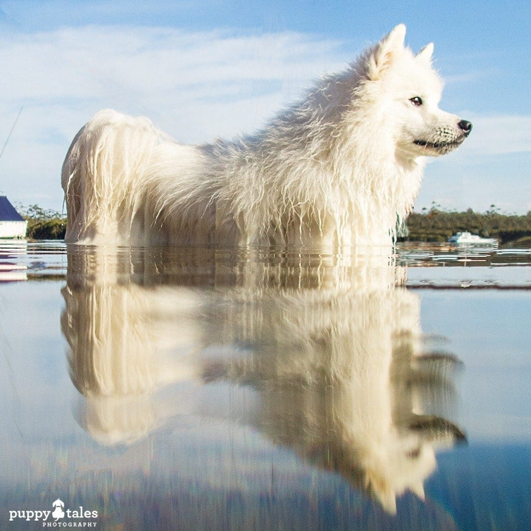 Japanese Spitz dog water reflection