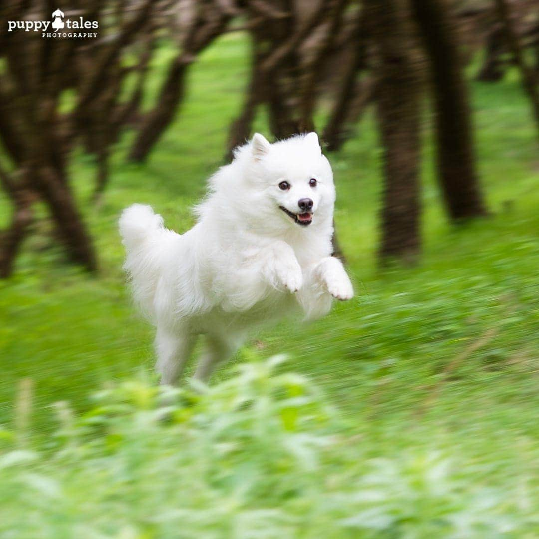 white Japanese Spitz jumping over the grass