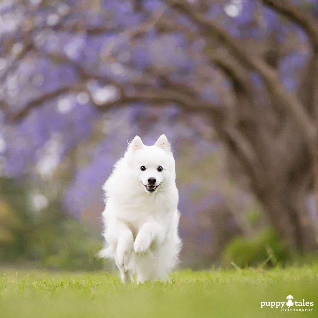 white Japanese Spitz dog running in the garden