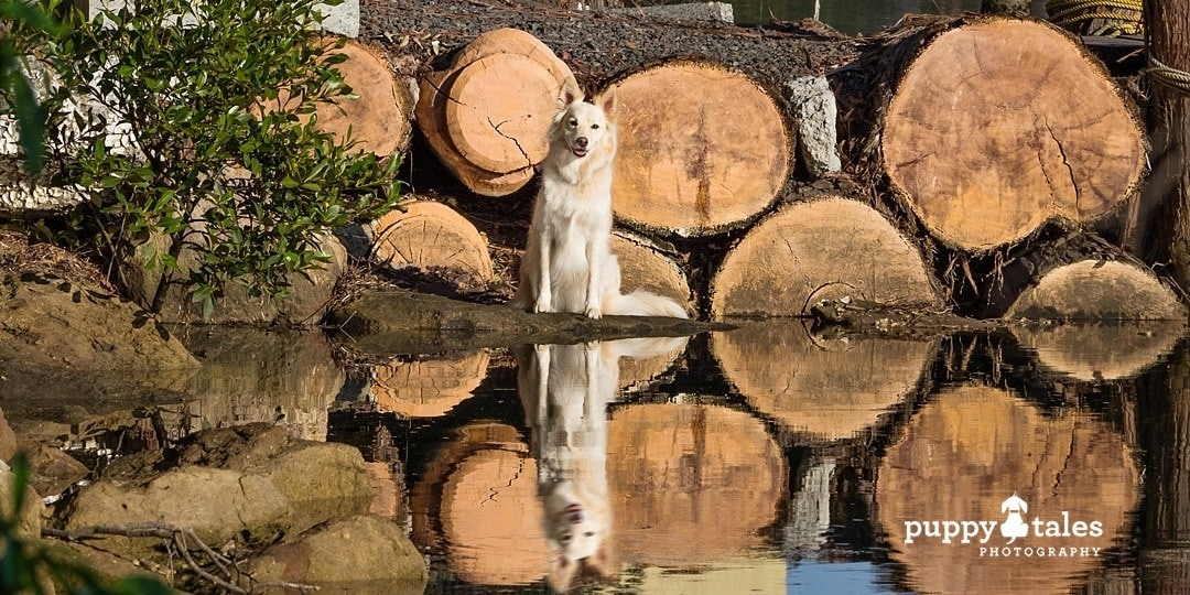 Border Collie dog sitting in front of a calm body of water