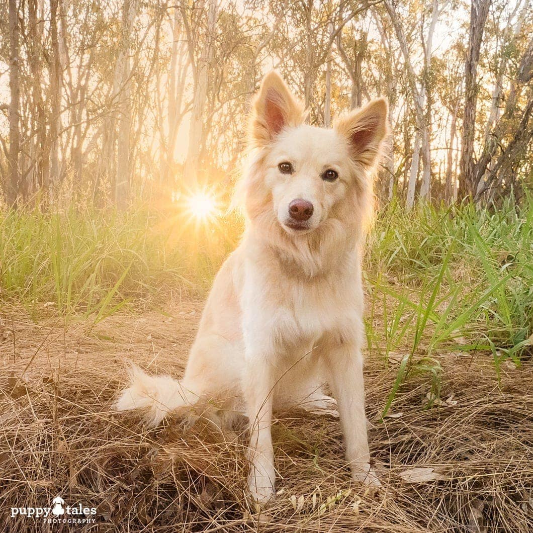 Border Collie dog head tilt sitting on the field with burst of light on the background