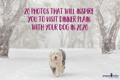 Photos of Dogs at Dinner Plain in Victoria