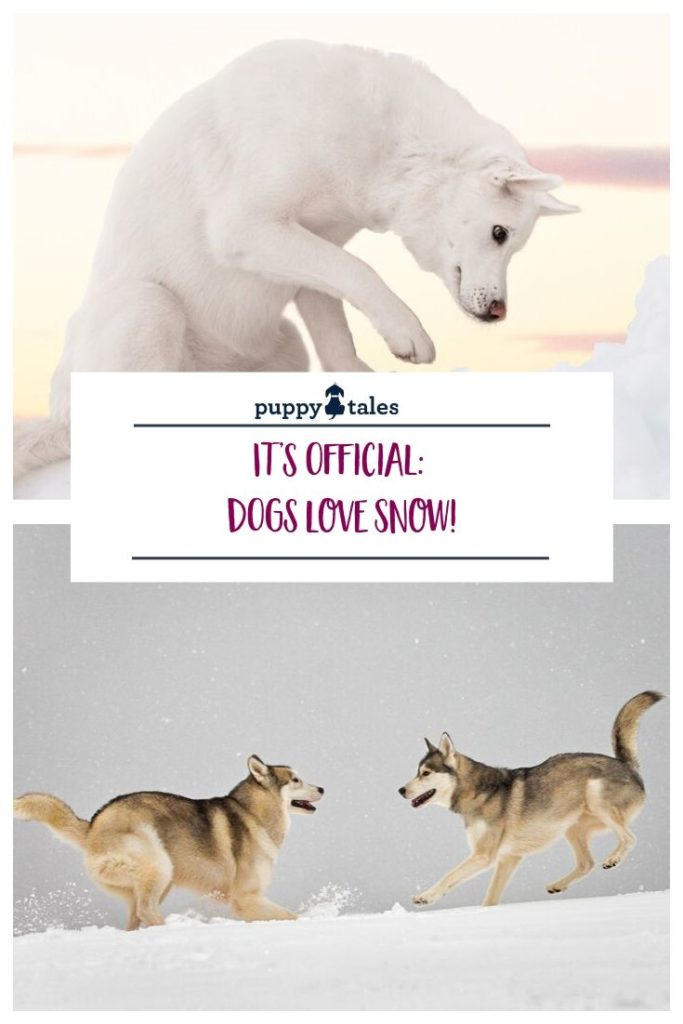 why do dogs love snow so much