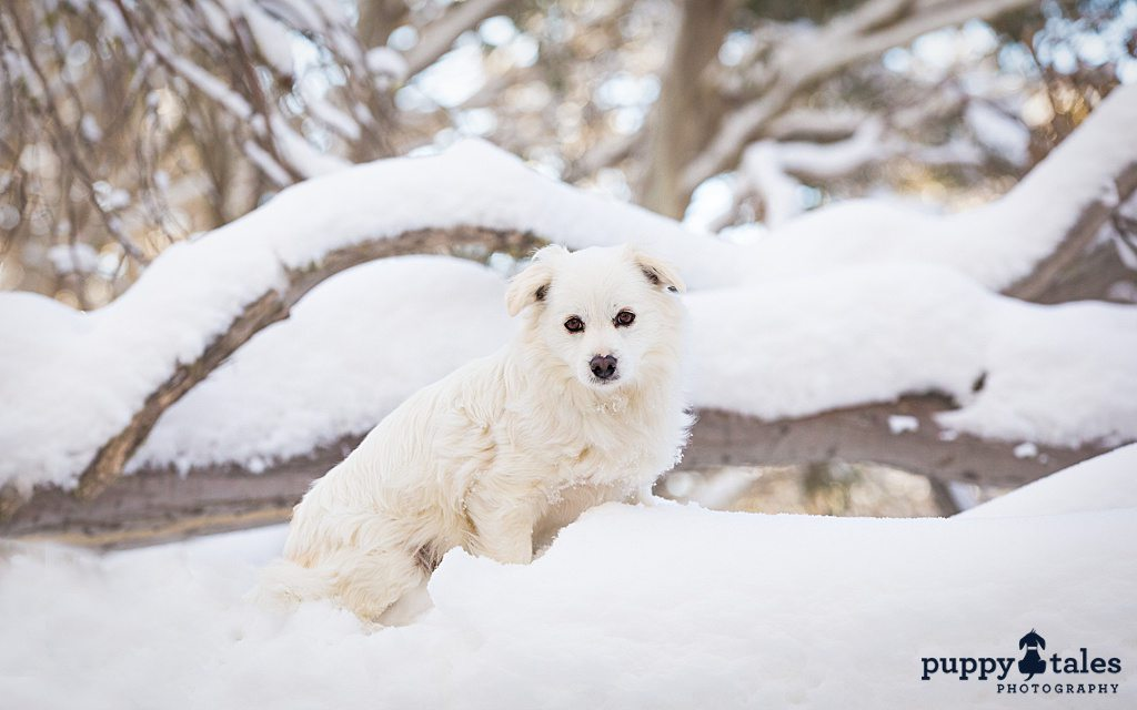 Tibetan Spaniel x posing on a snow-covered log