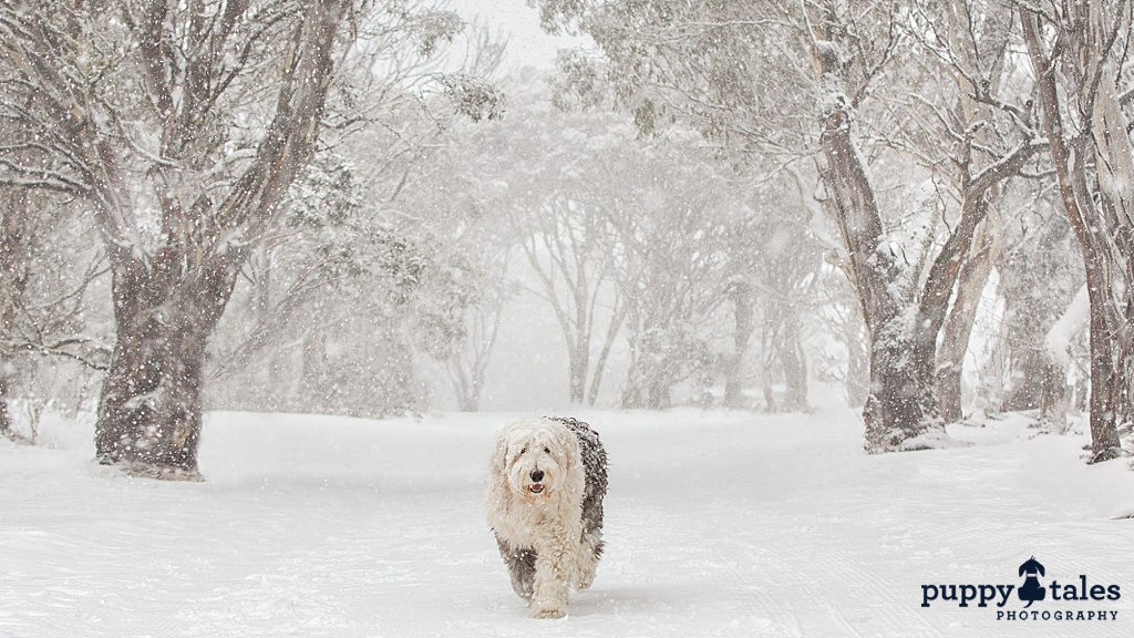 Old English Sheepdog enjoying snowfall while walking