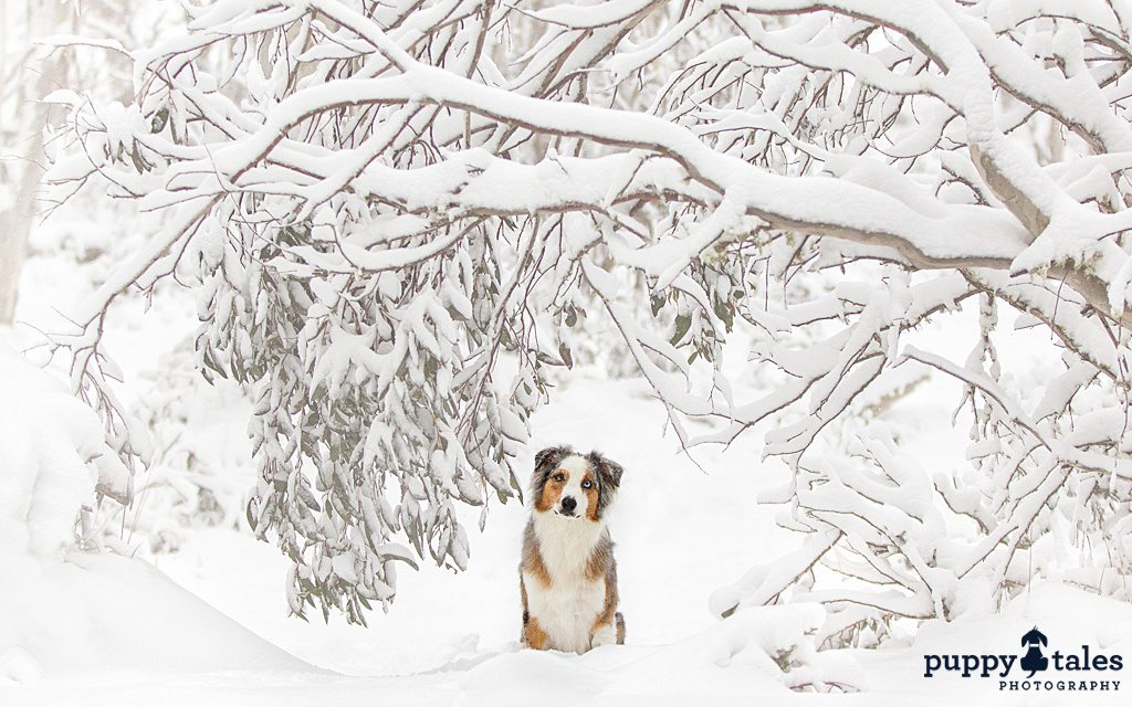 Aussie Shepherd sitting under a snow-covered tree